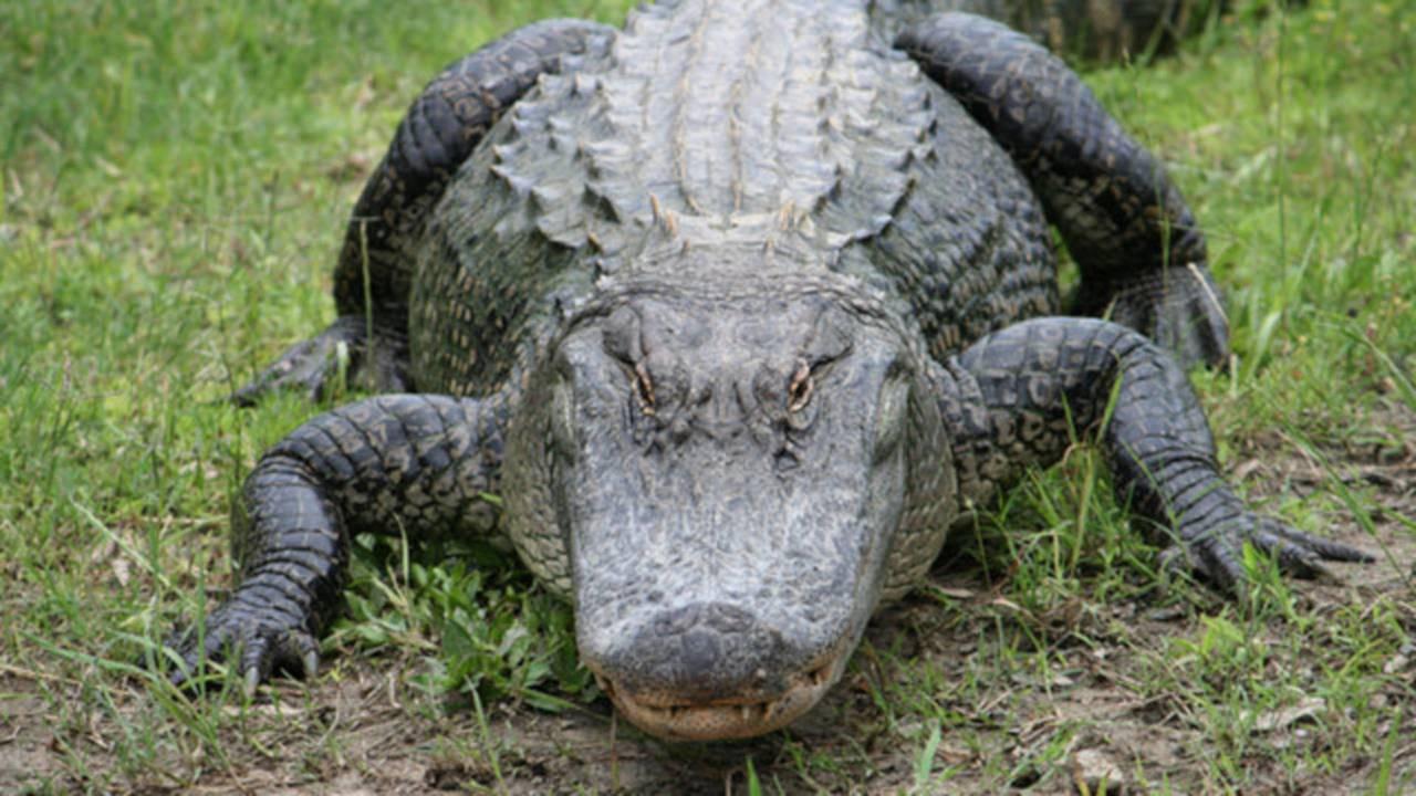 Alligator generic20392008-75042528