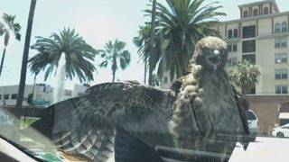 Hawk Hitches a Ride in Los Angeles