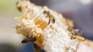 University of Florida opens new honey bee lab