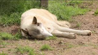 The Texas Bucket List: St. Francis Wolf Sanctuary in Montgomery