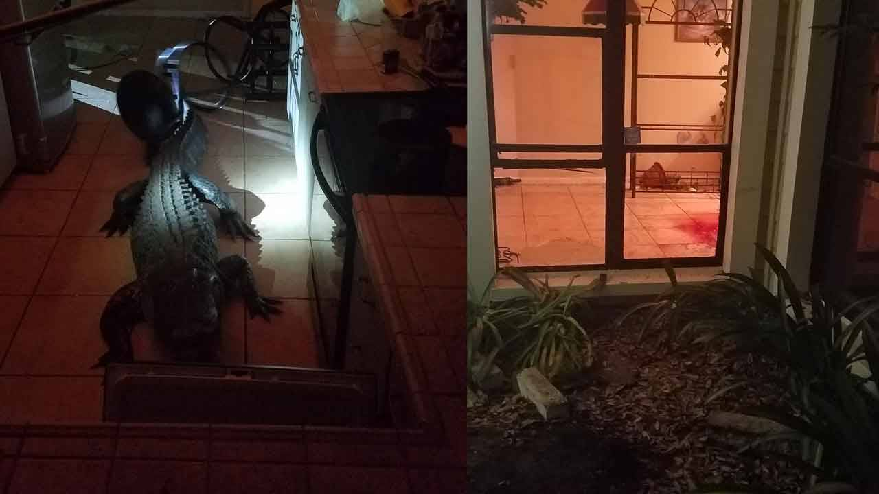 Gator broke through these Clearwater windows