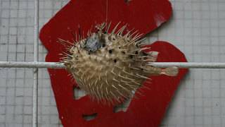 Fugu blowfish fail sparks emergency warning in Japan