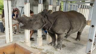 Endangered Indian rhino pregnant at Zoo Miami