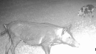 HOA faces fight as wild hogs run rampant, tear up neighborhood yards