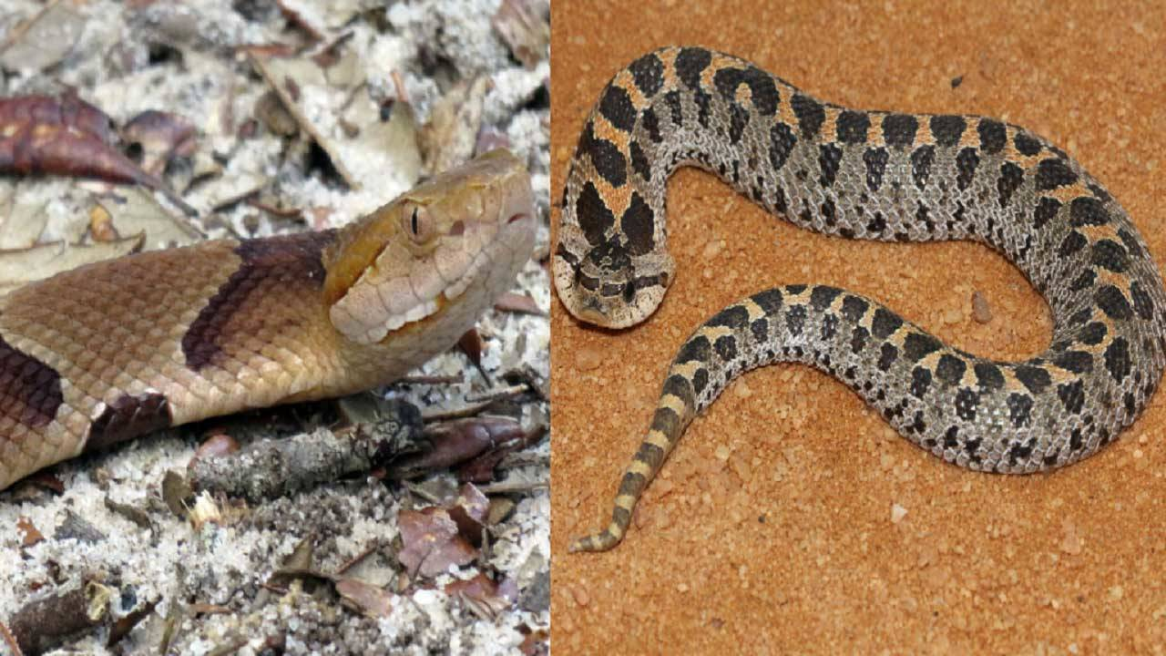 Harmless vs  venomous snakes in Florida: How to tell the