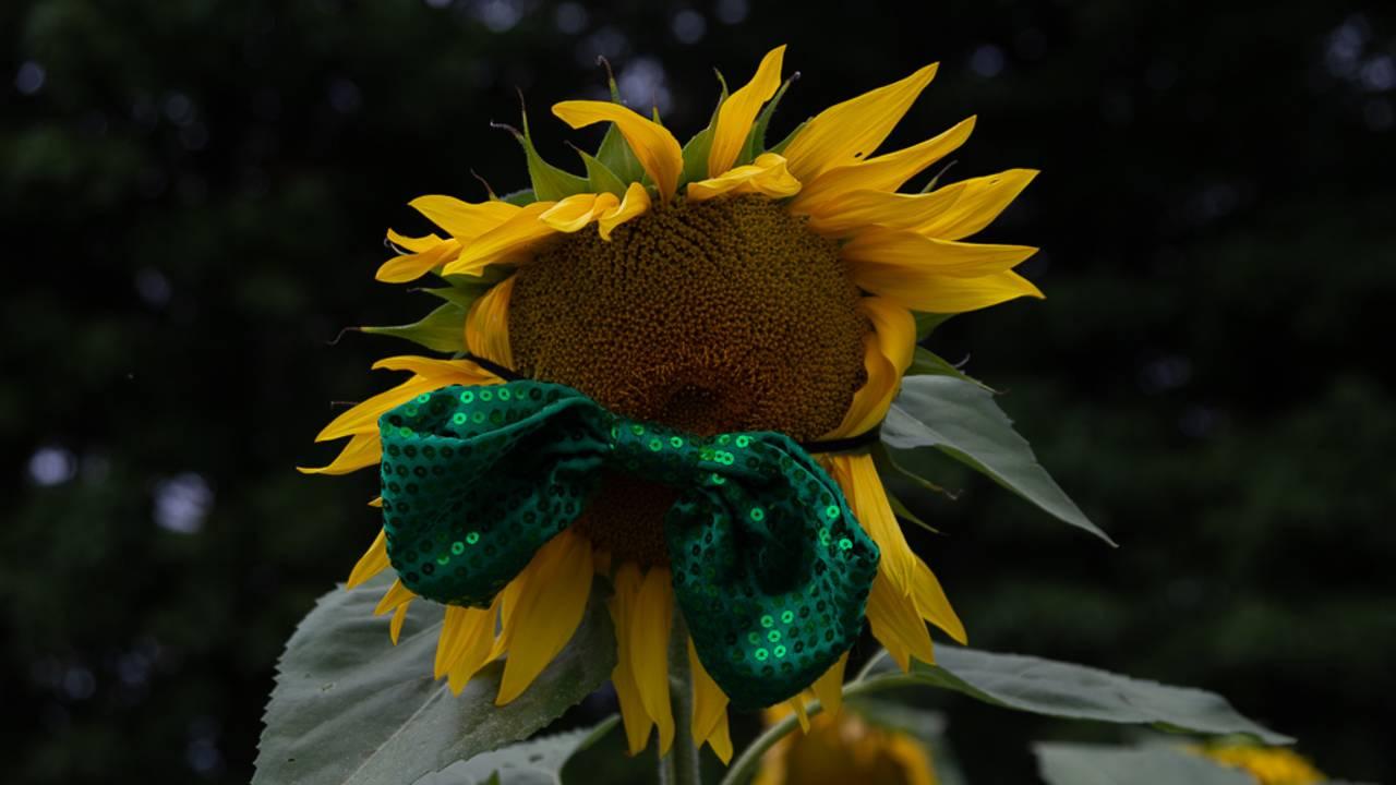 sunflower field 2_1566925478586.jpg.jpg