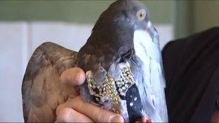 Arizona bird rescue seeks owner of bedazzled vest-clad pigeon