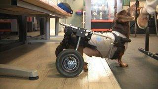Paralyzed pets? Cutting-edge technology can help animals regain mobility