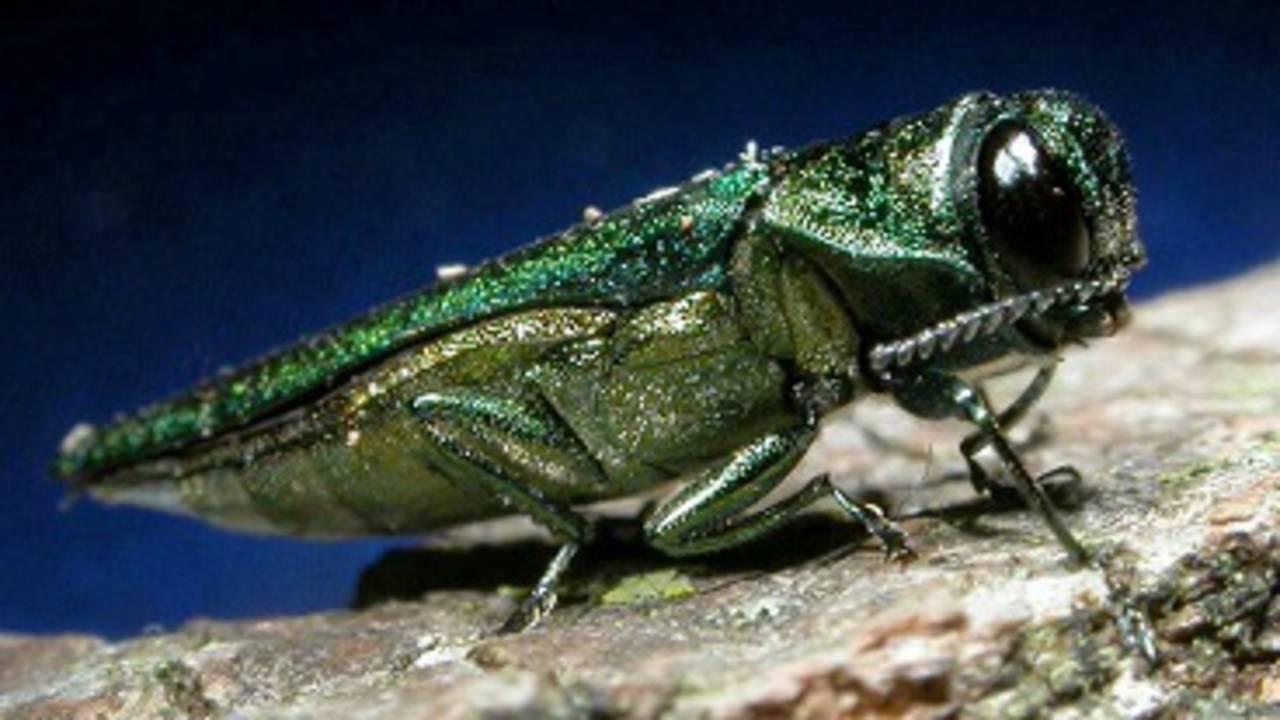 Emerald Ash Borer_1531138688525.jpg.jpg