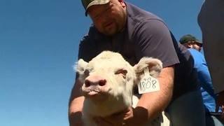 Rare albino calf captures hearts at Wisconsin farm
