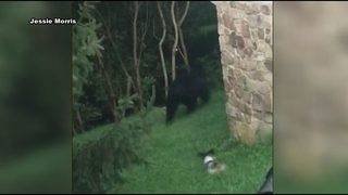 Tiny dog protects owner, chases away large black bear in Vinton