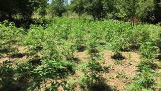 2,500 marijuana plants seized by Fayette County deputies