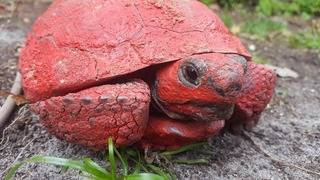 FWC offers reward after tortoise found covered in red spray paint