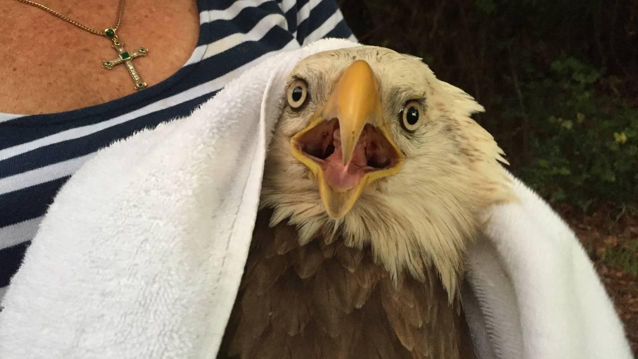 10-11-18 Injured bald eagle 5