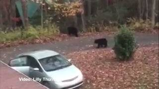 Bears eat 49 chocolate bars in NC student's car
