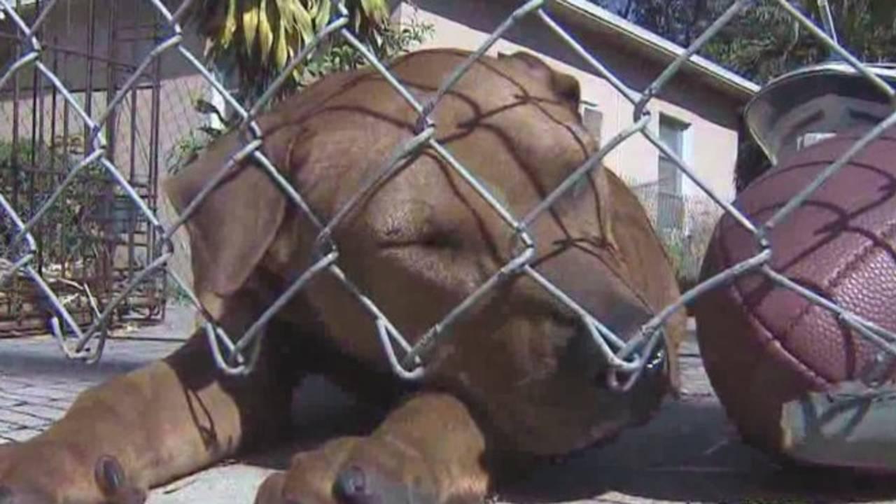 Pit bull sleeping_24447908