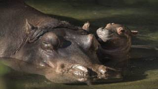 Disney's Animal Kingdom welcomes first baby hippo in 13 years