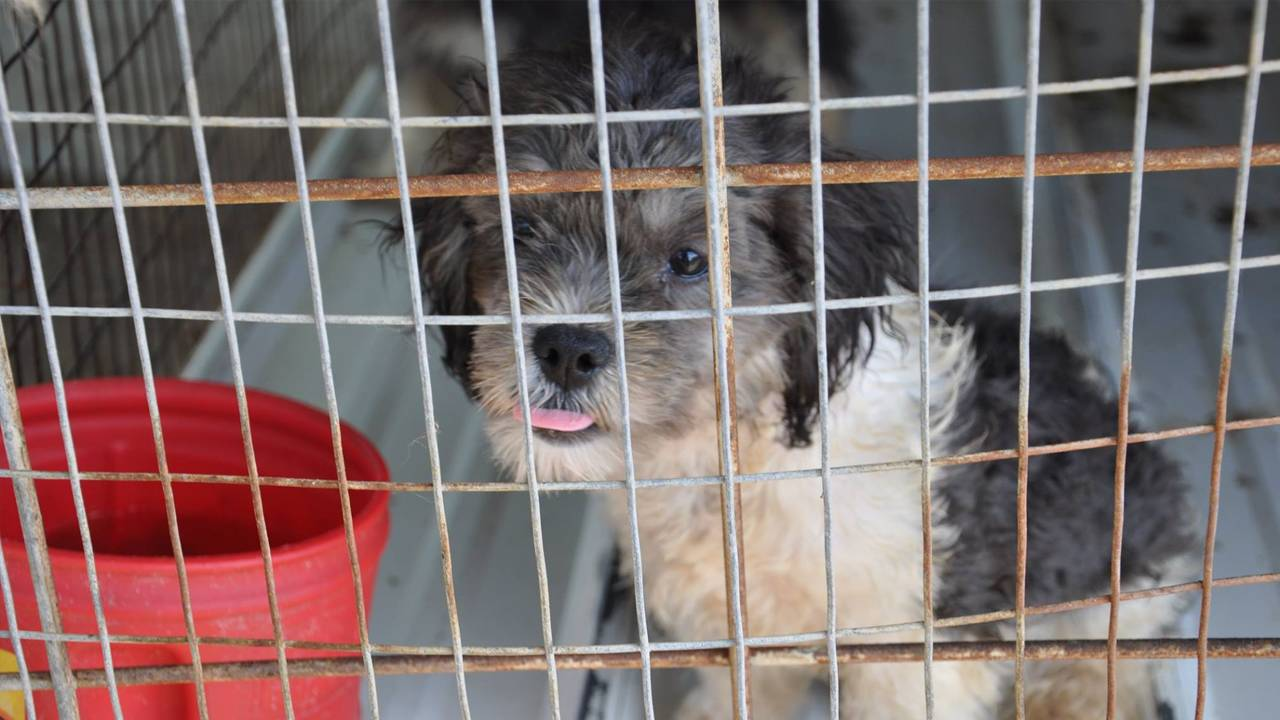 Several Shih Tzu puppies rescued from feces-ridden South