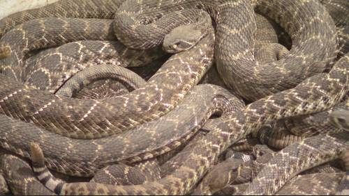 Rattlesnake Roundup, steeped with tradition, draws thousands to Texas big country