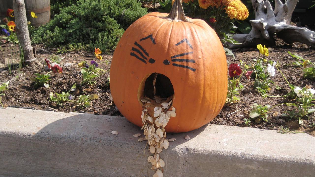 Halloween pumpkin, jack-o-lantern throwing up20526417-75042528