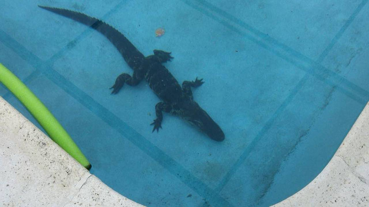 Gator next to pool noodle float in Boca Raton swimming pool