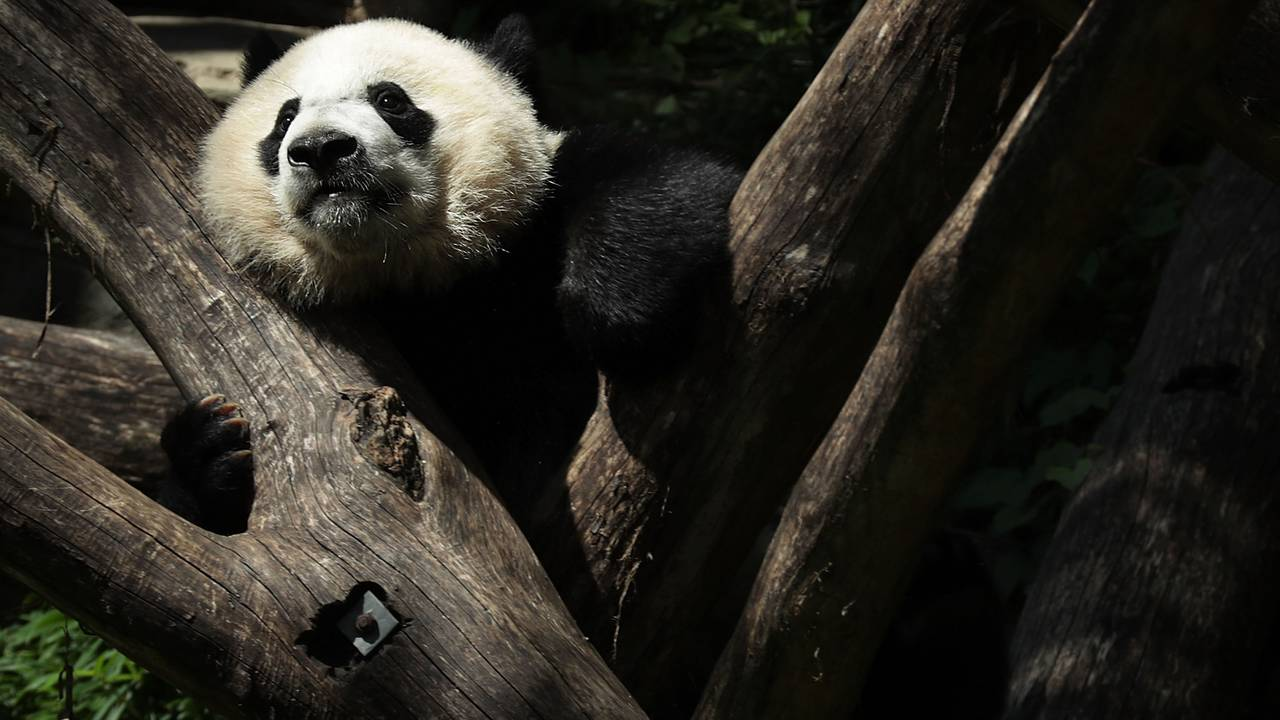BeiBei2-getty.jpg