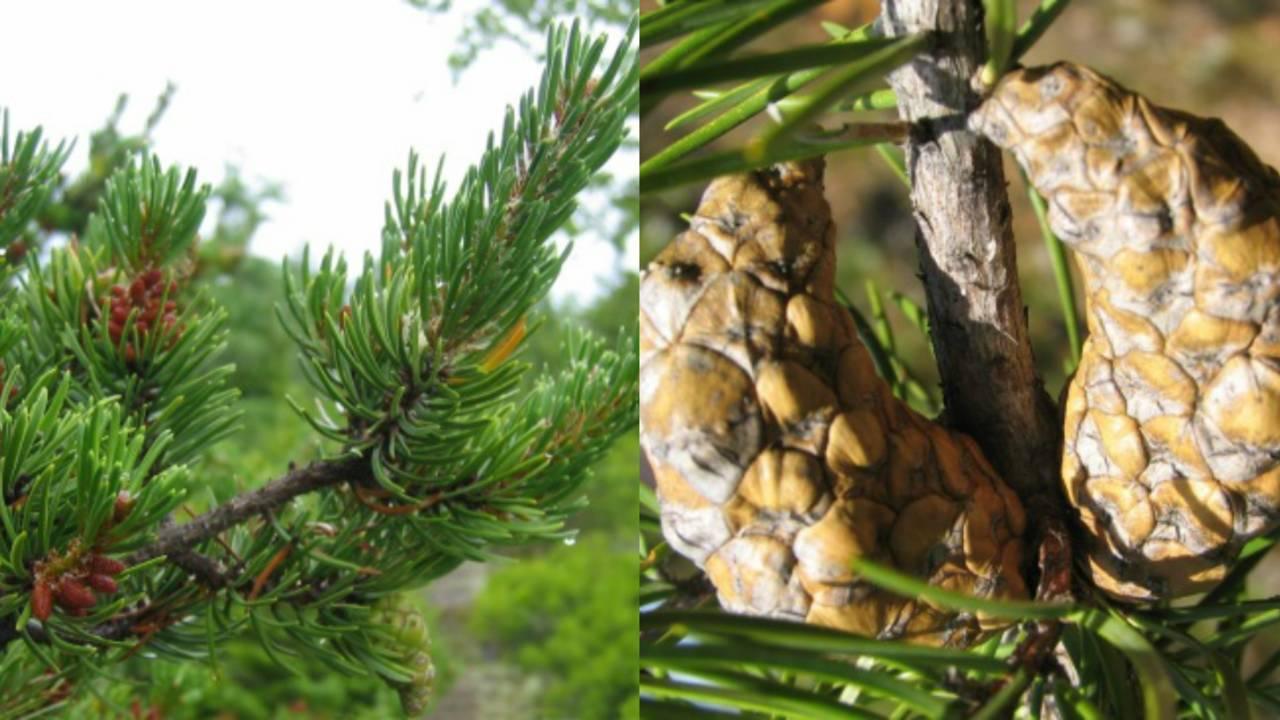jack pine_1563796427220.jpg.jpg