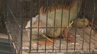 Iguana shot multiple times with crossbow in Plantation