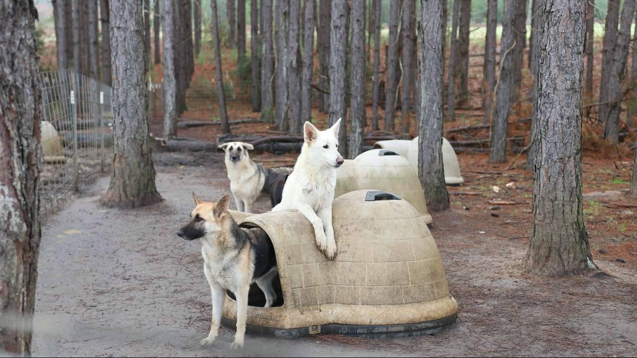 georgia neglected german shepherds 4_1546886073191.jpg.jpg