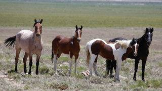 1,000 wild horses to be rounded up, hundreds could be slaughtered