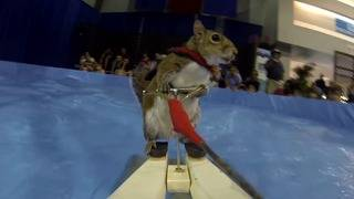 Twiggy the Water Skiing Squirrel will be performing at Detroit Boat Show