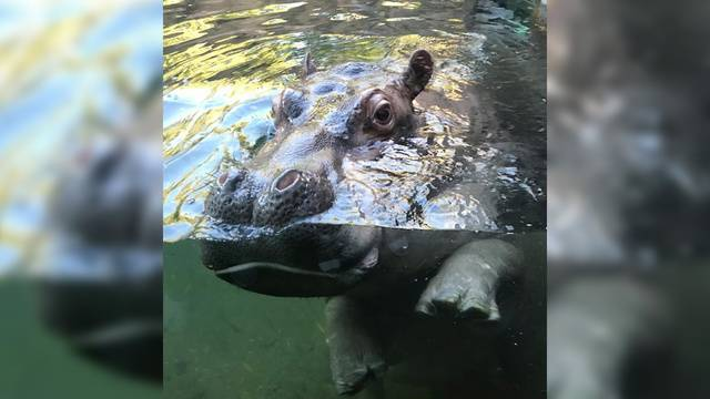 Sa S Beloved Timothy The Hippo Pokes Fun At Monkey Escape