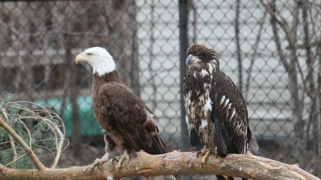 Female bald eagle injured in windstorm finds new home at...