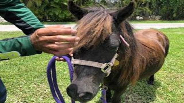 Mini mare rescued in southwest Miami-Dade