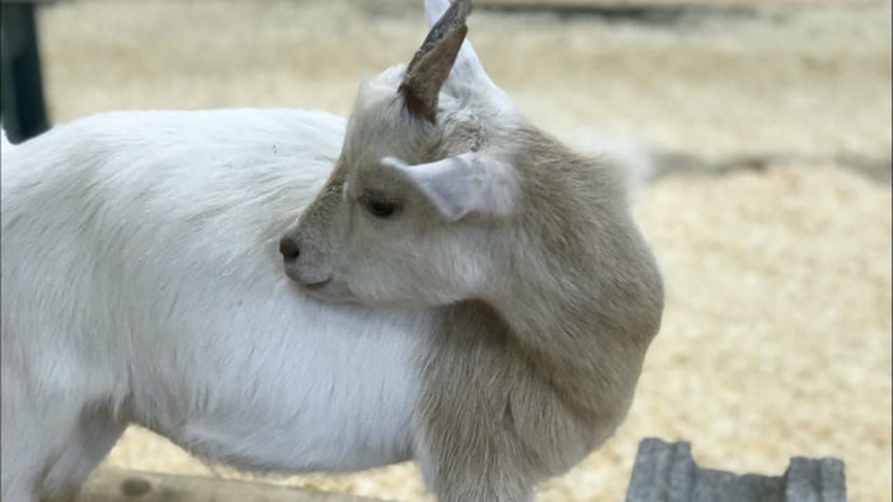 Baby goat Creature Conservancy
