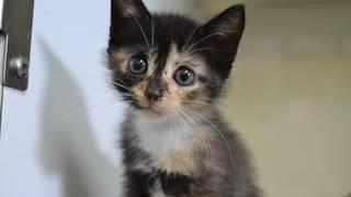 Free kitten adoptions at Jacksonville Humane Society