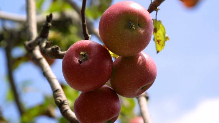 Organic apples are crawling with millions of bacteria, and that's good