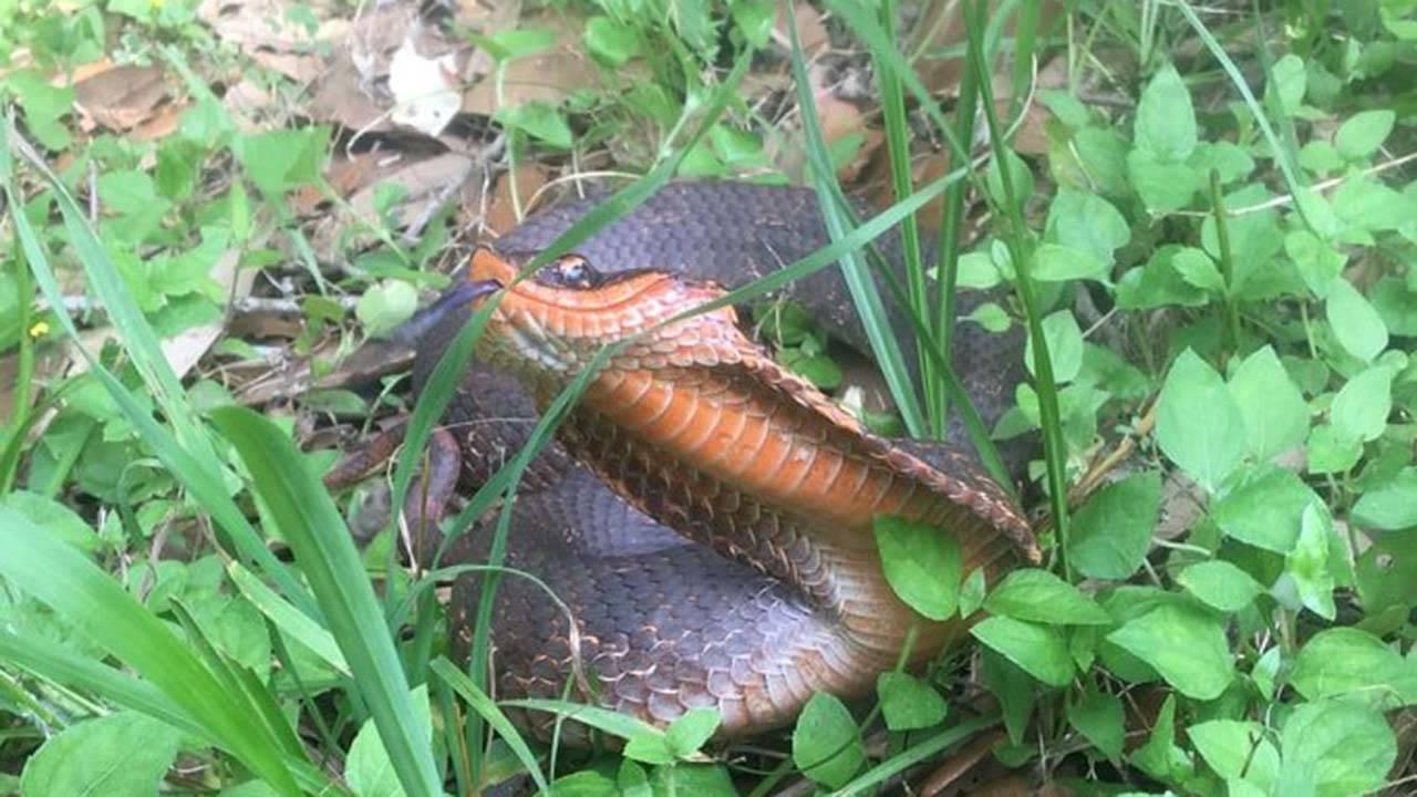 brazos bend snake (4)_1558625285756.jpg.jpg