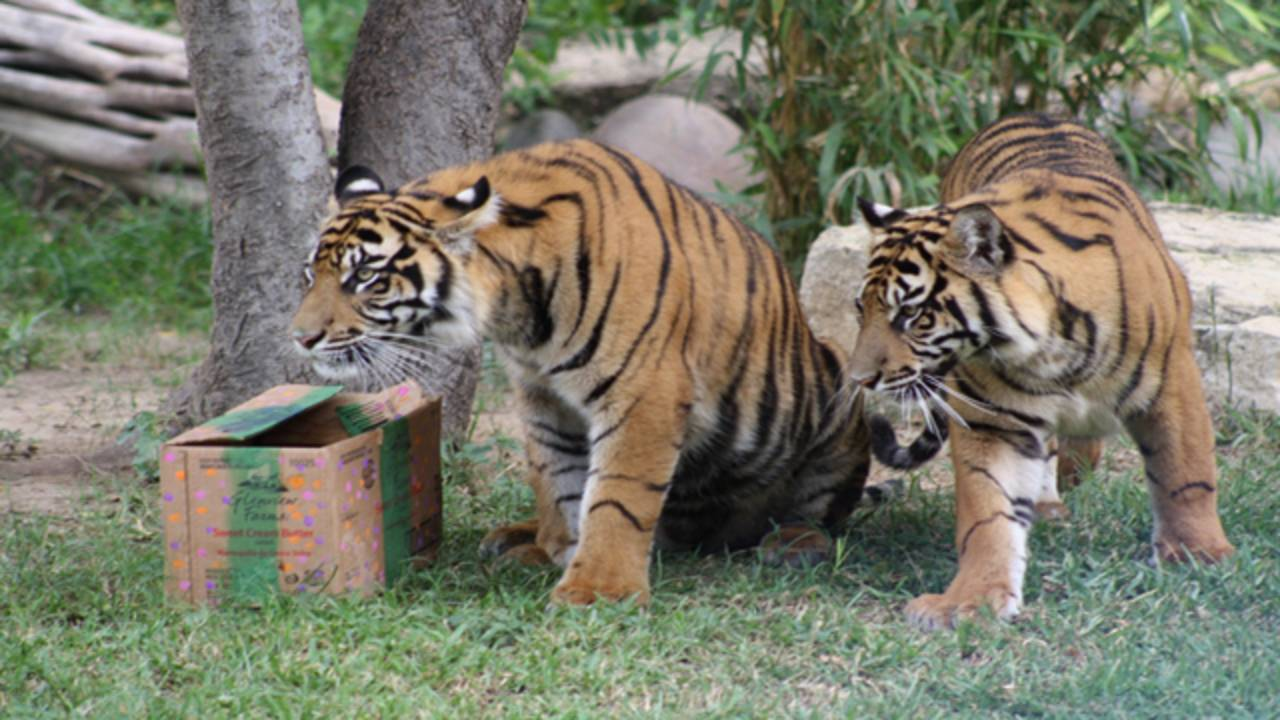 SA Zoo To Throw Birthday Party For Tiger Cubs