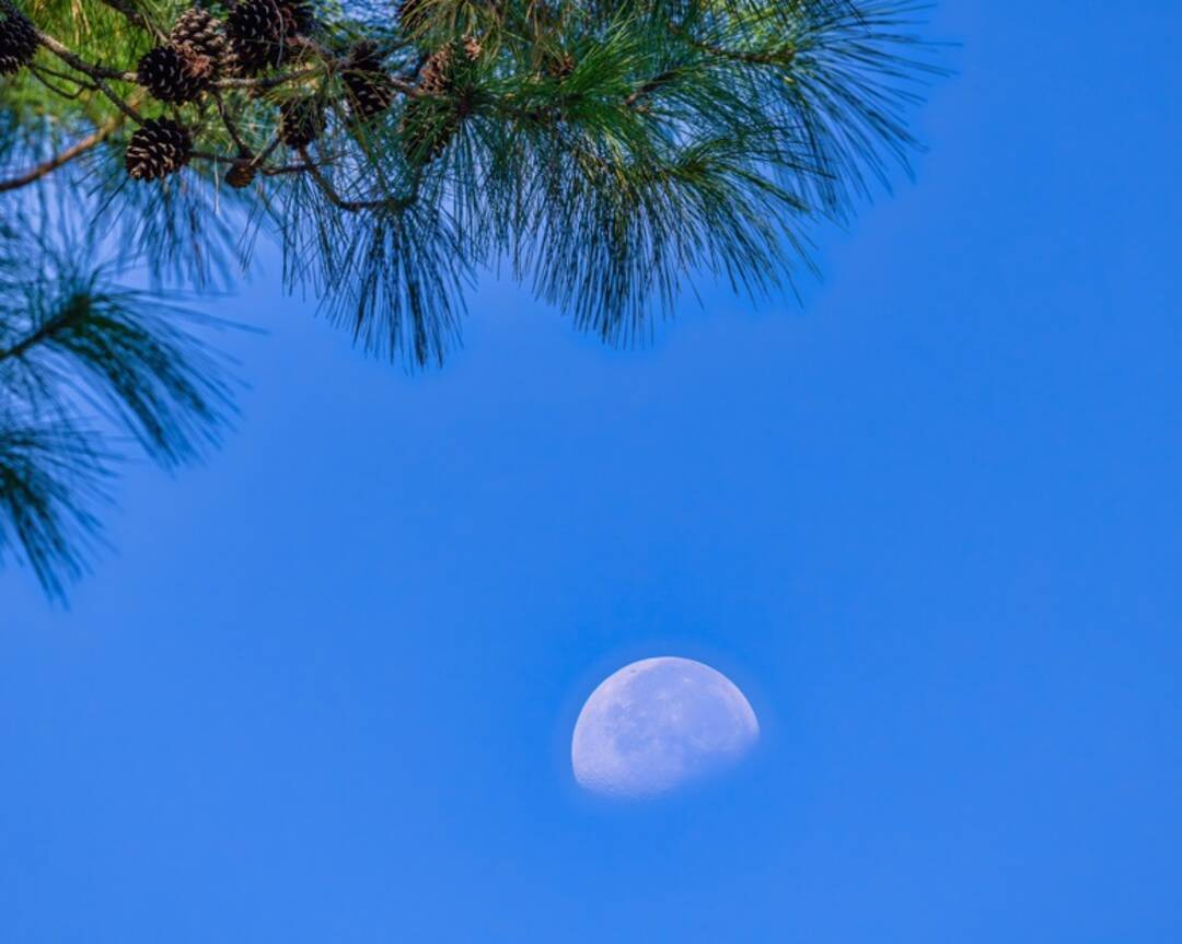 This morning's moon through the pines in Montgomery.
