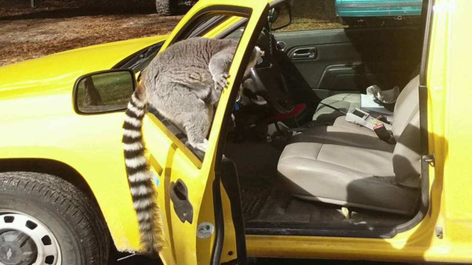 lemur on truck window