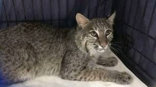 Bobcat stowaway found on boat
