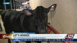 KSAT 12's Ashly Custer reports from cattle barn at San Antonio Stock&hellip&#x3b;