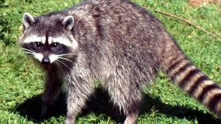 Woman wakes to raccoon in home