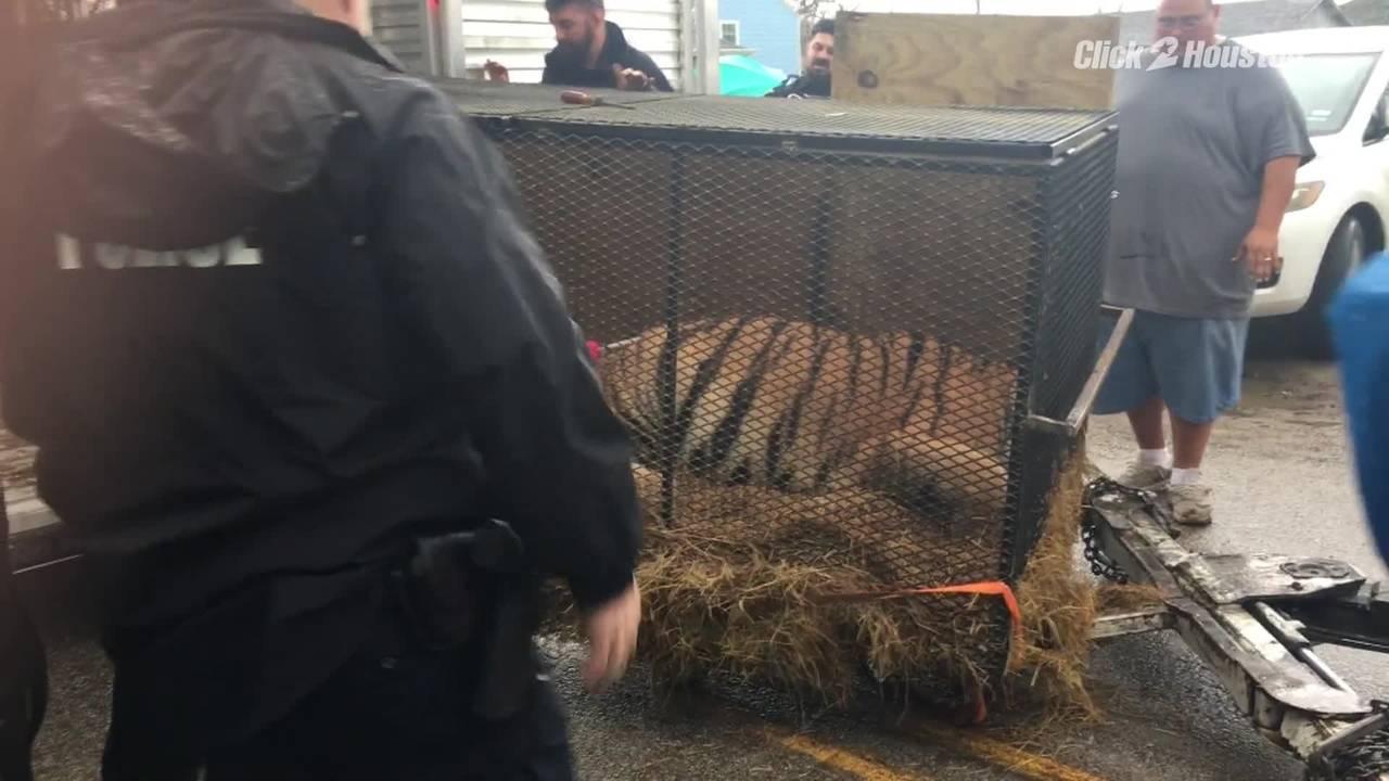 tiger on trailer for IG20190212001443.jpg