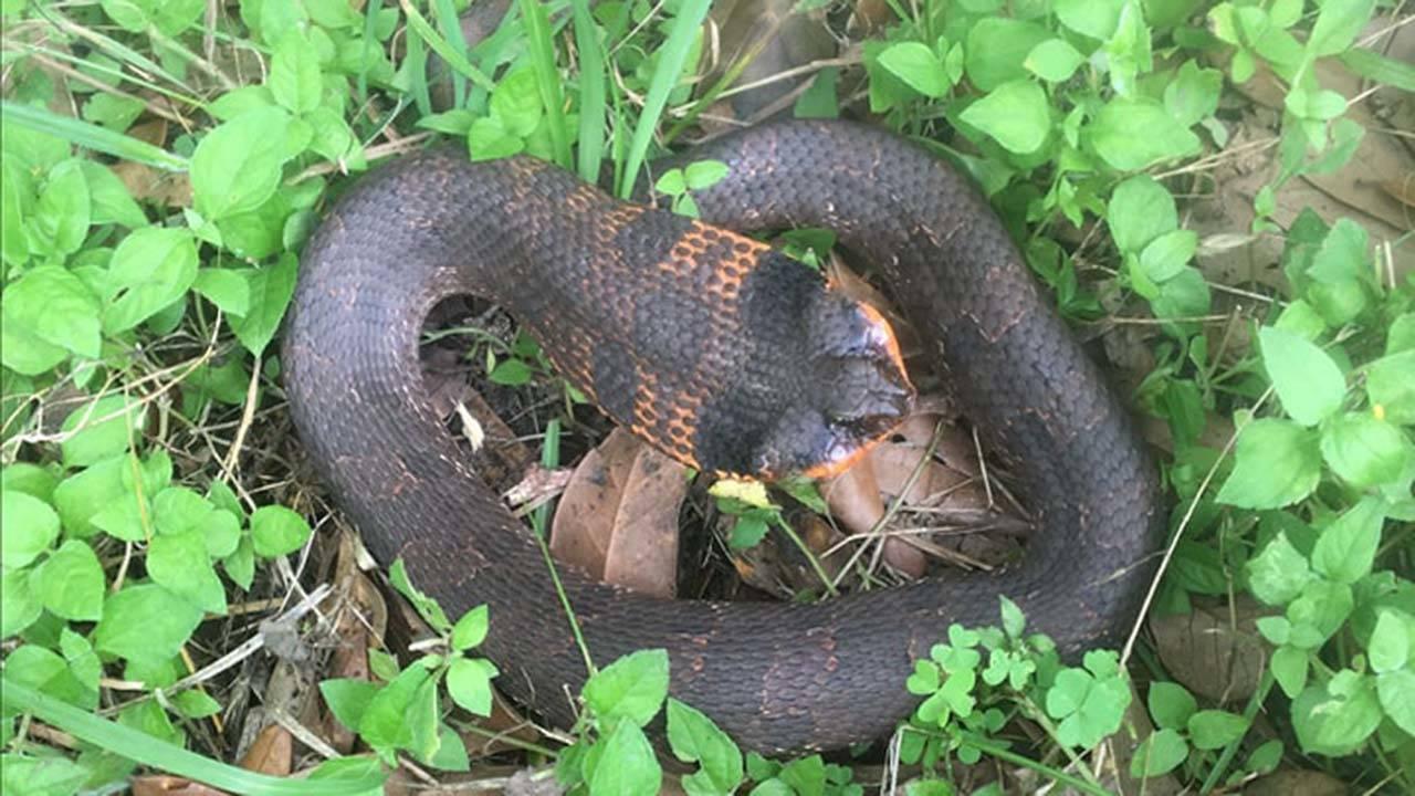 brazos bend snake (2)_1558625283889.jpg.jpg