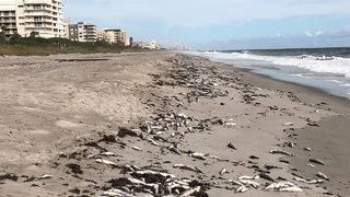 More dead fish wash up in Brevard County despite lower red tide levels