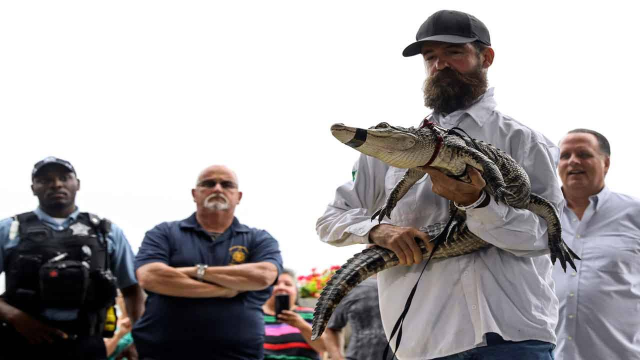 Frank Robb holds alligator he caught at Humboldt Park in Chicago
