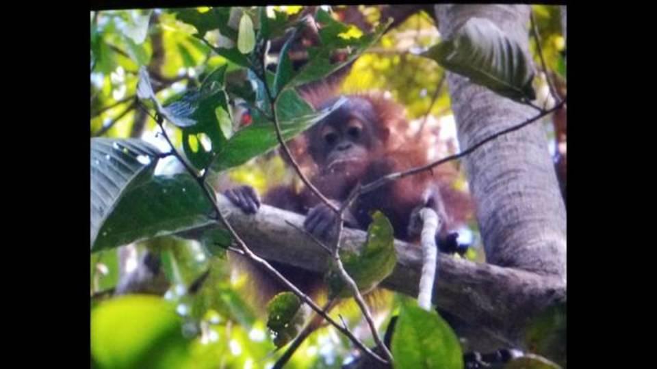 juvenile orangutan borneo_1512754430064.jpg