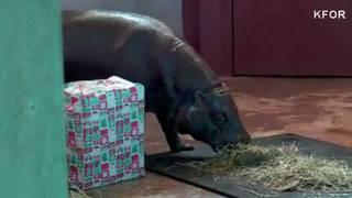 Hippo For Christmas.Zoo Gets Hippopotamus For Christmas